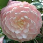 lotusrose